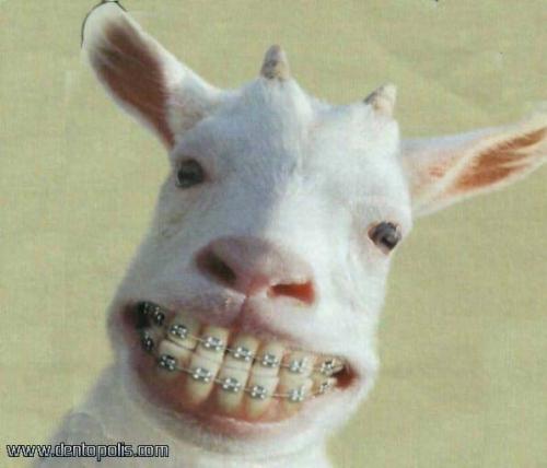 Cabra con braquets