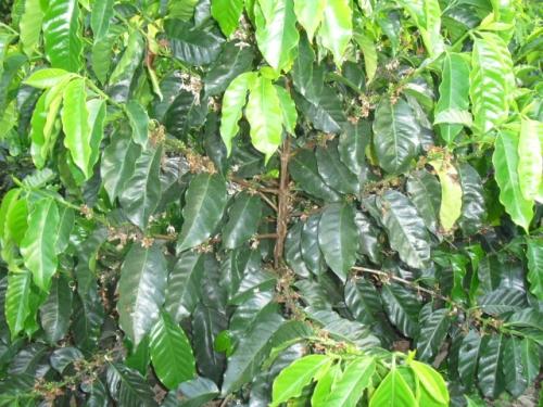 caficultura Hondure�a
