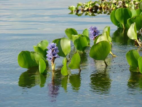 Flor de Bora