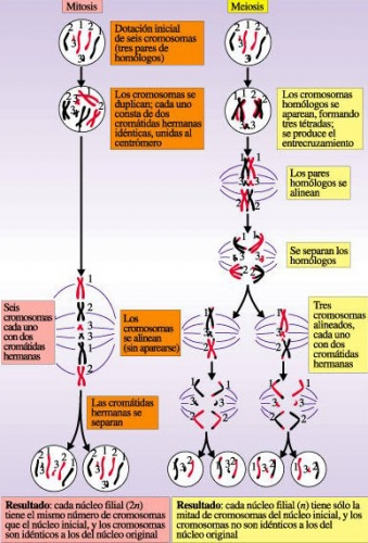 meiosis vs mitosis. Meiosis Vs Mitosis.