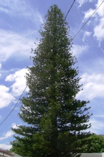 Pino quiso solidarizarse por el choque en once pero for Tipos de pinos para jardin fotos