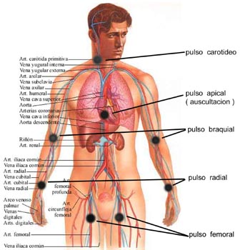 Pulsos distales
