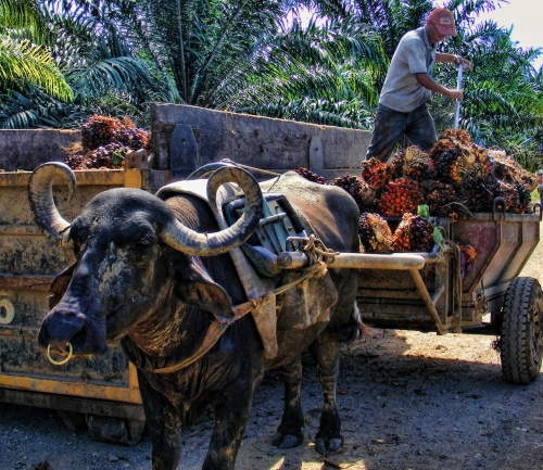 un bufalo africano trabajador